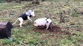 Dog Forms Unlikely Friendship With Pig - Video