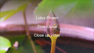Lotus Flower Time lapse and close up video