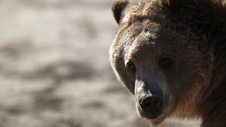 Federal Judge Halts Planned Grizzly Bear Hunts