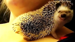 Hedgehog flashes adorable smile during snuggle time - Video