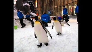 Penguins Go To Dubai - Video