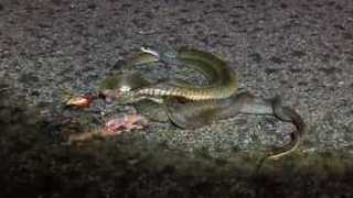 Two Snakes in Amorous Embrace... Except One is Dead - Video