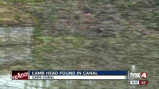 Lamb's head found floating in Cape Coral canal - Video