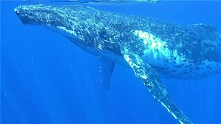 Humpback whale sings his heart out while circling Tonga Islands