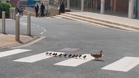 Clued-up ducklings waddle across zebra crossing in front of amazed onlookers