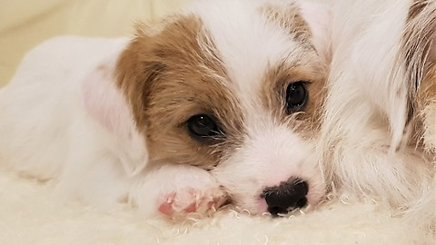 Jack Russell puppy has act cute bedtime routine