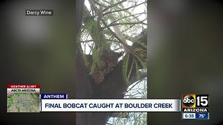 Final bobcat caught at Boulder Creek High School - Video