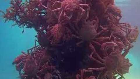 Victoria Seabed Covered With Hundreds of Molting Spider Crabs