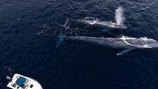 Drone Films Blue Whale Mom and Calf Playing with Bottlenose Dolphin - Video