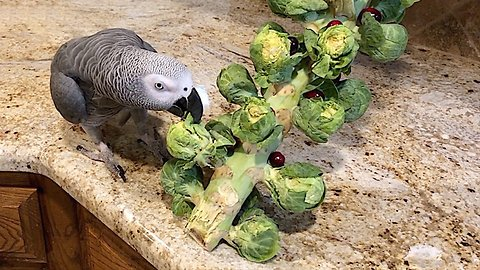 Parrot takes down Brussels sprout Christmas Tree