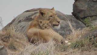 Lion cub reunites with mother - Video