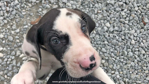 Meeting Our 6 Week Old Great Dane Puppy For The First Time In Kentucky ~ Puppy Love