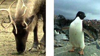 Penguins vs Reindeer - Video