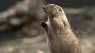 Prairie dog tries and fails to catch fly - Video