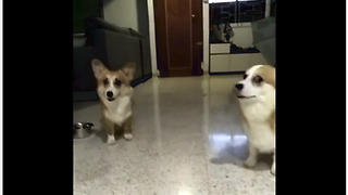 Corgis confronted with crime, but which one is guilty?  - Video