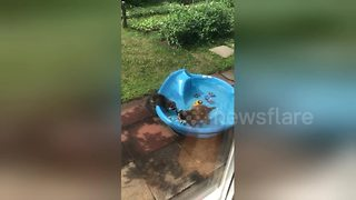 Family of racoons spotted cooling off in back garden kiddies' pool - Video
