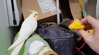 Cockatiel has squeak-off with a toy rubber duck - Video