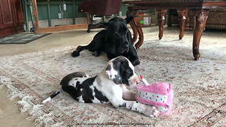 Dog Tired Great Dane Watches Puppy Play With Birthday Cake Toy