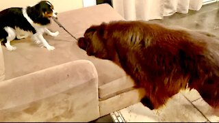 Newfie plays ever so gently with Cavalier puppy