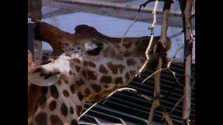 Curious Facts About Giraffes - Video
