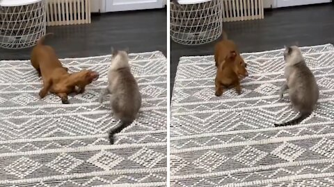 Dachshund desperately wants to befriend kitty cat