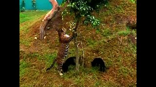 Newborn Twin Jaguar Cubs - Video