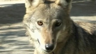 Arabian Pet Wolves - Video