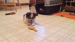 An Adorable Puppy Dog Plays With A Hairbrush