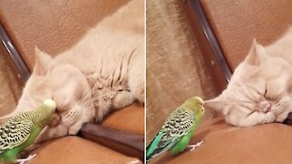 Clingy parakeet won't stop talking to sleeping cat