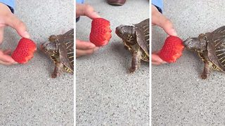 Hungry turtle takes tiny bites of refreshing strawberry