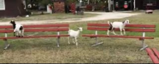 Cute Goats with Excellent Sensory Motor Skills
