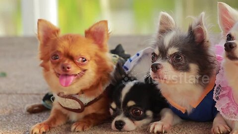 This family of chihuahuas is ridiculously cute