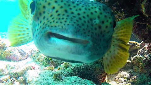 Curious pufferfish is adorable but extremely deadly to predators