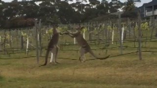 Kangaroos Become Entangled in Grapevines During Winery Brawl - Video