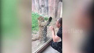 Watch the incredible moment a leopard interacts with a zoo visitor - Video