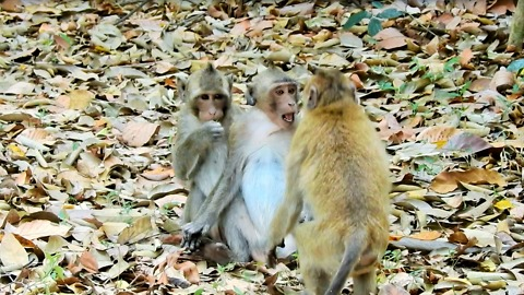 Baby Monkey Funny Now With Friends Pigtail And Longtail