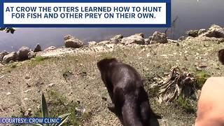 Three North American river otter were released in Punta Gorda Florida - Video
