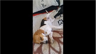 Beagle lies motionless for hairdryer