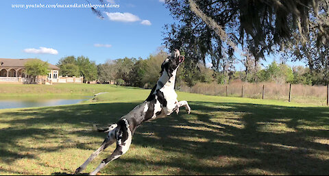 Jumping Great Dane helps out with the gardening chores