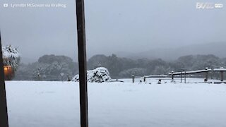 Kangaroos can't get enough of playing in the snow