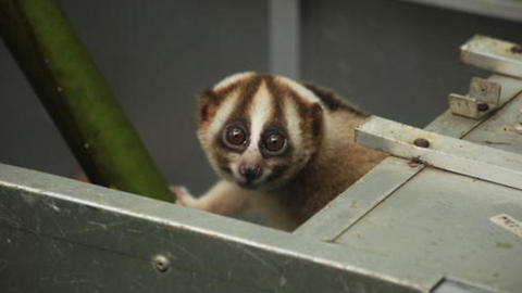 Slow Lorises Return to Rainforest After Rescue From Illegal Pet Trade