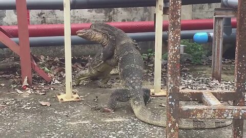 Huge monitor lizards 'hug' intensely next to canal in territorial dispute