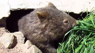 Injured Wombat Enjoys Room Service at Sanctuary - Video