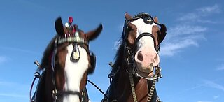 Budweiser Clydesdales at South Point