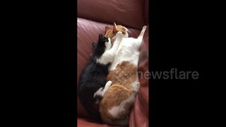 Kitty gives daddy cat a gentle back massage