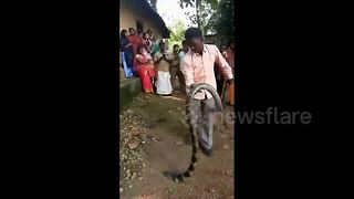 Scary moment King cobra comes face-to-face with handler - Video