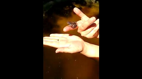The frog behaves like a tame one and doesn't want to return in the water