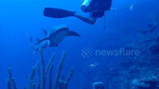 Nurse shark bumps into scuba diver's camera - Video