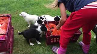 Sainsbury's Delivery Man Ambushed by Puppies - Video