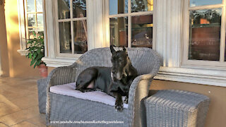Happy Great Dane Loves To Relax On The Patio Loveseat